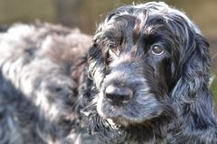 English Cocker Spaniel stock image
