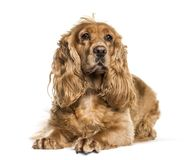 English Cocker Spaniel lying in front of white background. Isolated on white stock images