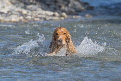 english cocker spaniel while playing in the river Royalty Free Stock Image