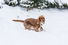English cocker spaniel playing on the snow royalty free stock photography