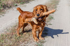 English Cocker Spaniel playing with stick spruce Royalty Free Stock Photography