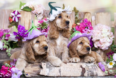 English Cocker Spaniel puppies. In a floral hat in garden royalty free stock photo