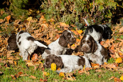 English Cocker Spaniel puppies Stock Photos