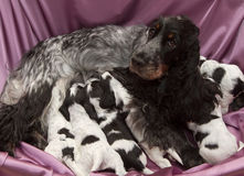 English Cocker Spaniel Puppies Nursing. Stock Image