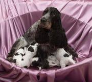 English Cocker Spaniel Puppies Nursing. Royalty Free Stock Photo