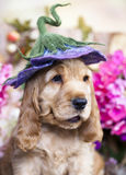 English Cocker Spaniel puppies. English Cocker Spaniel puppy in a floral hat royalty free stock photos