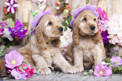 English Cocker Spaniel puppies stock images