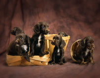 English cocker spaniel puppies Stock Image