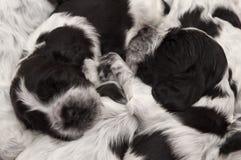 English Cocker Spaniel Puppies. Royalty Free Stock Photos