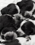 English Cocker Spaniel Puppies. Royalty Free Stock Photo