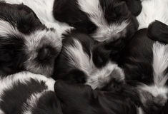 English Cocker Spaniel Puppies. Royalty Free Stock Photography