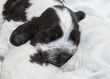 English Cocker Spaniel Puppies. Stock Images