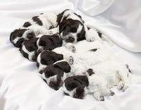 English Cocker Spaniel Puppies. Royalty Free Stock Photography