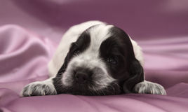 English Cocker Spaniel Puppies. Stock Image