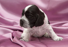 English Cocker Spaniel Puppies. Royalty Free Stock Images