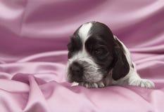 English Cocker Spaniel Puppies. Royalty Free Stock Photo