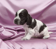 English Cocker Spaniel Puppies. Royalty Free Stock Image