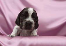 English Cocker Spaniel Puppies. Stock Photo