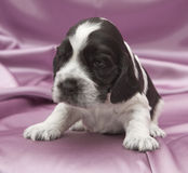 English Cocker Spaniel Puppies. Stock Photography