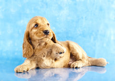 English cocker spaniel puppy. On blue background stock photography
