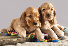 English cocker spaniel  puppy Stock Photo