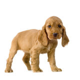 English Cocker Spaniel puppy. In front of a white background royalty free stock photo