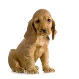 English Cocker Spaniel puppy royalty free stock photography
