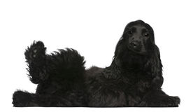 English Cocker Spaniel puppy, 5 months old Stock Image