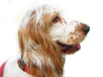 English Cocker Spaniel puppy royalty free stock photos