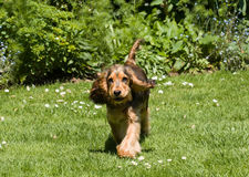 English Cocker Spaniel Puppy Ears Flapping. Six-month-old Sable-coloured English Show Cocker Spaniel Puppy running with ears flapping stock images