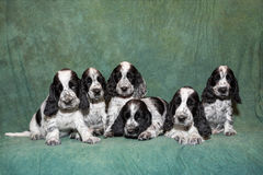 English Cocker Spaniel puppy family stock photos