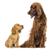 English Cocker spaniel puppy looking up at an Irish setter Stock Photos