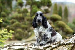 English cocker spaniel puppy. Outdoor portrait of sitting puppy of english cocker spaniel, european champion, breeding station stock image
