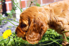 English cocker spaniel puppy playing with a flower. Cute English cocker spaniel puppy playing with a flower royalty free stock photo