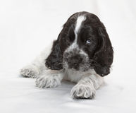 English Cocker Spaniel Puppy Stock Image