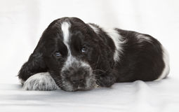 English Cocker Spaniel Puppy Royalty Free Stock Image