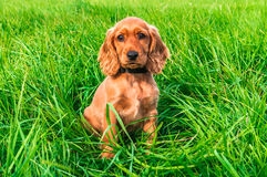 English cocker spaniel puppy sitting on the grass royalty free stock photos