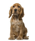 English Cocker Spaniel puppy sitting Royalty Free Stock Photo
