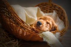 English cocker spaniel puppy sleep in a basket. English cocker spaniel puppy sleeping in a basket Stock Photography