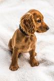 English cocker spaniel puppy  on white blanket. Background Royalty Free Stock Photos