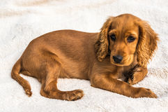 English cocker spaniel puppy  on white blanket. Background Royalty Free Stock Image