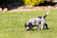 English Cocker Spaniel puppy. Young English Cocker Spaniel puppy, outdoor on green grass. Bread called blue cocker spaniel Royalty Free Stock Photos