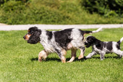 English Cocker Spaniel puppy. Young English Cocker Spaniel puppy running with female mother, outdoor on green grass in garden. Bread called blue cocker spaniel Stock Photography