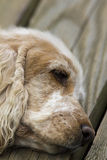 English Cocker Spaniel Royalty Free Stock Image