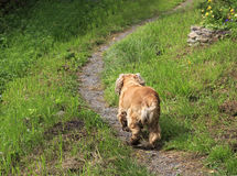 English Cocker Spaniel runs along the path. Royalty Free Stock Photography