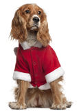 English Cocker Spaniel in Santa outfit. 10 months old, sitting in front of white background royalty free stock photo
