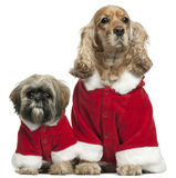 English Cocker Spaniel and Shih Tzu in Santa Royalty Free Stock Images