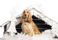 English Cocker spaniel sitting Royalty Free Stock Images