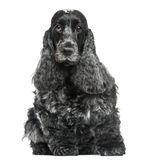 English Cocker Spaniel, sitting, facing, isolated Stock Images