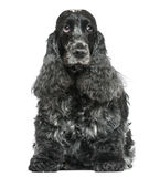 English Cocker Spaniel, sitting, facing, isolated Stock Image